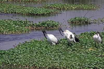 Ngorongoro - Sacred Ibis