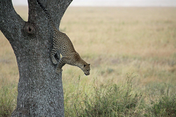 Serengeti - Leopard - Powerful Squat