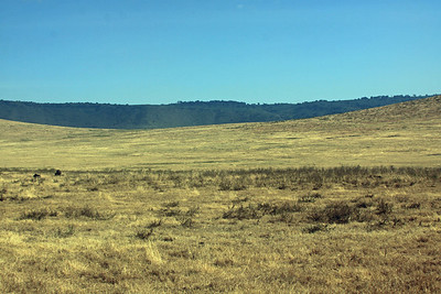 Ngorongoro Crater - Look closely for the lion in the tall grass, sneaking up on the African Buffalo