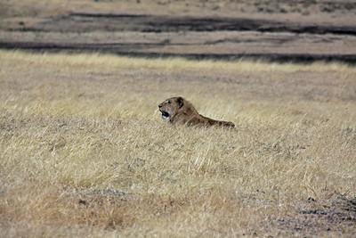 Ngorongoro Crater - Male Lion taking a break