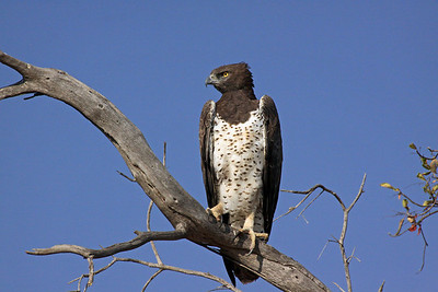 Tarangire National Park - The Martial Eagle - Africa's largest bird of prey