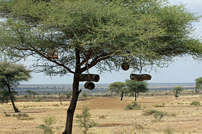 Maasai Bee Hives - used by the Maasai men to make their ever-present beer...