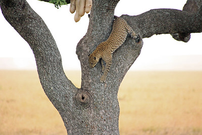 Serengeti - It is true - Leopards can climb up and down trees...