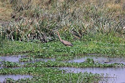 Ngorongoro - Immature Purple Heron