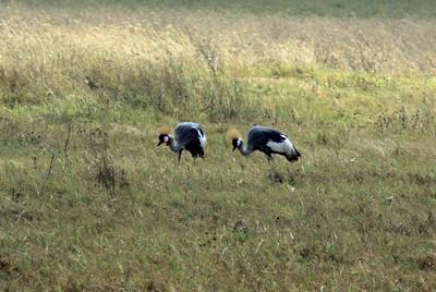 Ngorongoro Crater - Crowned Crane