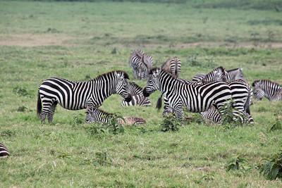 Arusha National Park - Zebras
