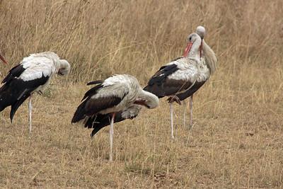 Serengeti - White Stork