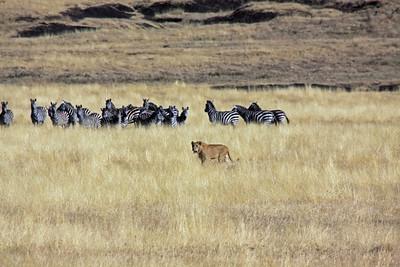 Ngorongoro Crater - Nervous Zebras