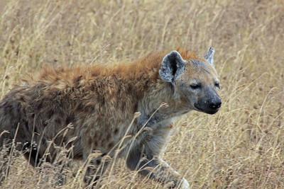 Ngorongoro Crater - Spotted Hyena