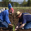 Tribune-Star/Joseph C. Garza<br /> Master Gardeners Gene Jarvis and Bob Archer help plant onions in the Giving Garden Thursday at the Wabash Valley Fairgrounds.