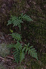 "Polypody: <a href=""http://ontarioferns.com/main/species.php?id=4028"">http://ontarioferns.com/main/species.php?id=4028</a>"