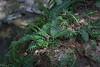 """Polypody fern -- <a href=""""http://ontarioferns.com/main/species.php?id=4028"""">http://ontarioferns.com/main/species.php?id=4028</a>"""