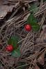Partridgeberry.