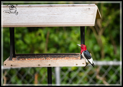 Red Headed Woodpecker on backyard feeder