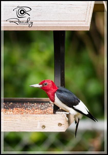 Red Headed Woodpecker on backyard feeder