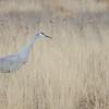 Sandhill crane at Bosque del Apache