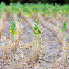 Tribune-Star/Jim Avelis<br /> Wilted: A soybean field in northern Vigo County shows the effects of the current drought. Some plants have died completely while other barley survive, for now.