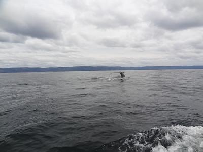 Humpback Whale heads down