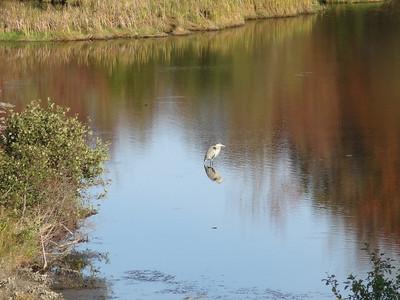 Heron - Baddeck Nova Scotia