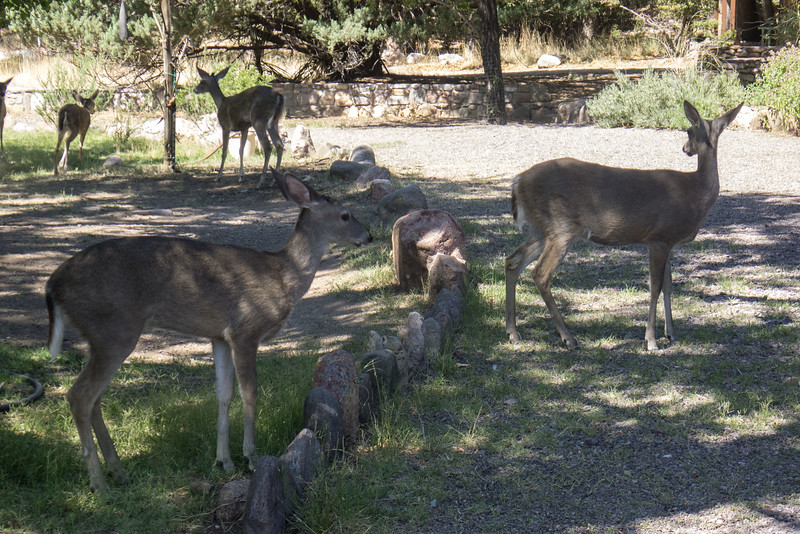 White Tail Deer in front yard of office