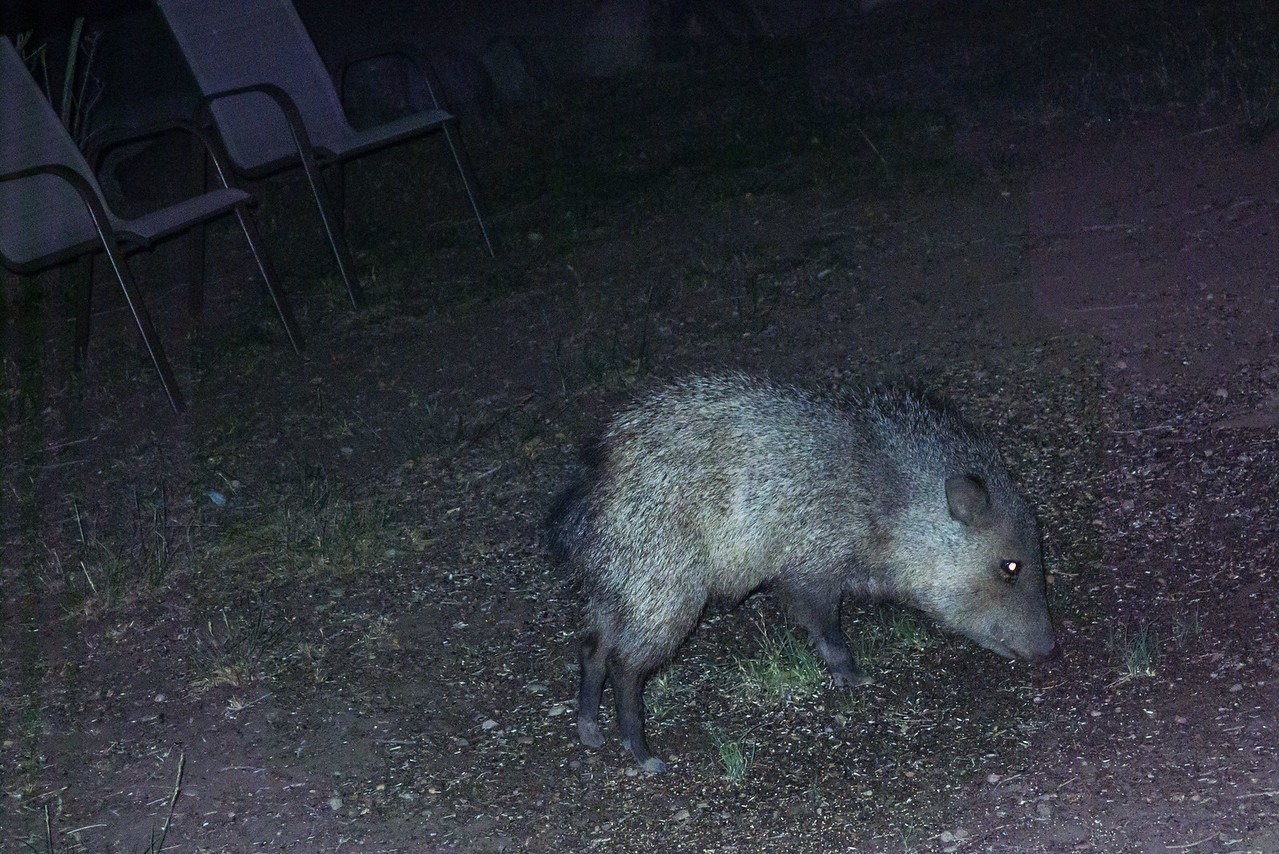 Javelina in front yard of office