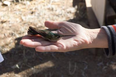 Hummingbird banding at research stations