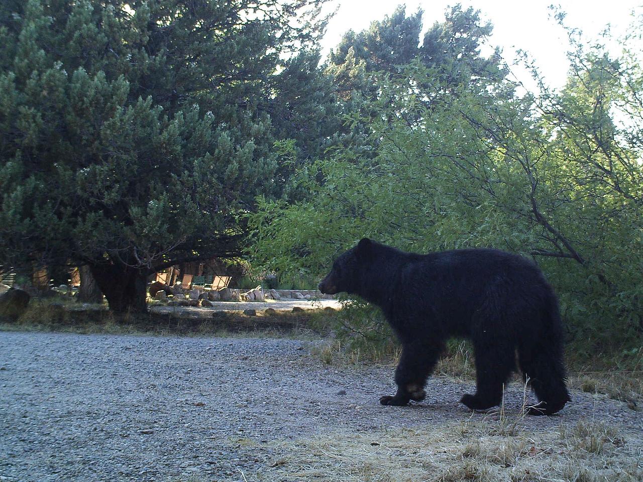 Black Bear approaching front yard of office