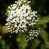 Flowering fern
