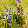 Blue bush lupine