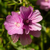 Checkered mallow