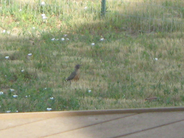 American Robin in Rob and Anne's yard