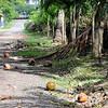 Coronado - coconuts along the road