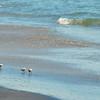 Coronado baby sandpipers