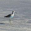 Coronado seagull
