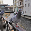 Pigeons were incredibly friendly.  This is NOT zoomed in.  They come right up to you because the patrons of Karlovy Vary love to feed them.