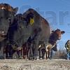 MET 122212 COWS COLLIDE