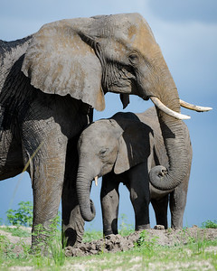 Elephant and Youngster