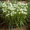 Iris siberica cv Snow Queen. From NJ landscape plant list reported as not preferred by White-tailed deer for feeding.