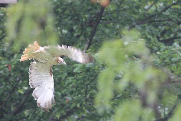Hawk Drizzle