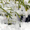 Tribune-Star/Jim Avelis<br /> Snow dropped: Snowdrops peek up through the overnight snow and ice Tuesday morning. With warmer temperatures and rain forcast, the spring flowers will have a chance to grow some more.