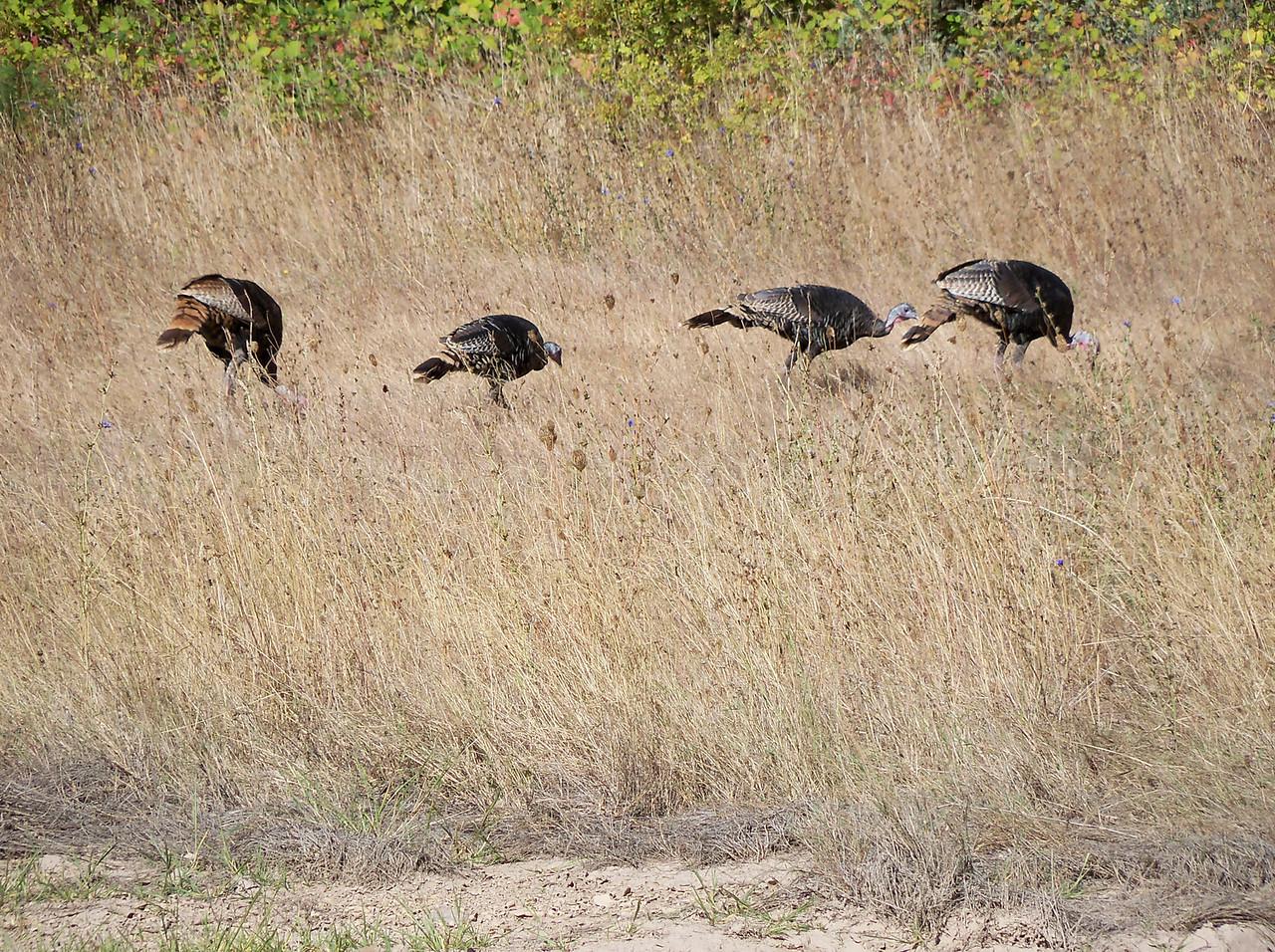 We saw lots of Wild Turkeys.