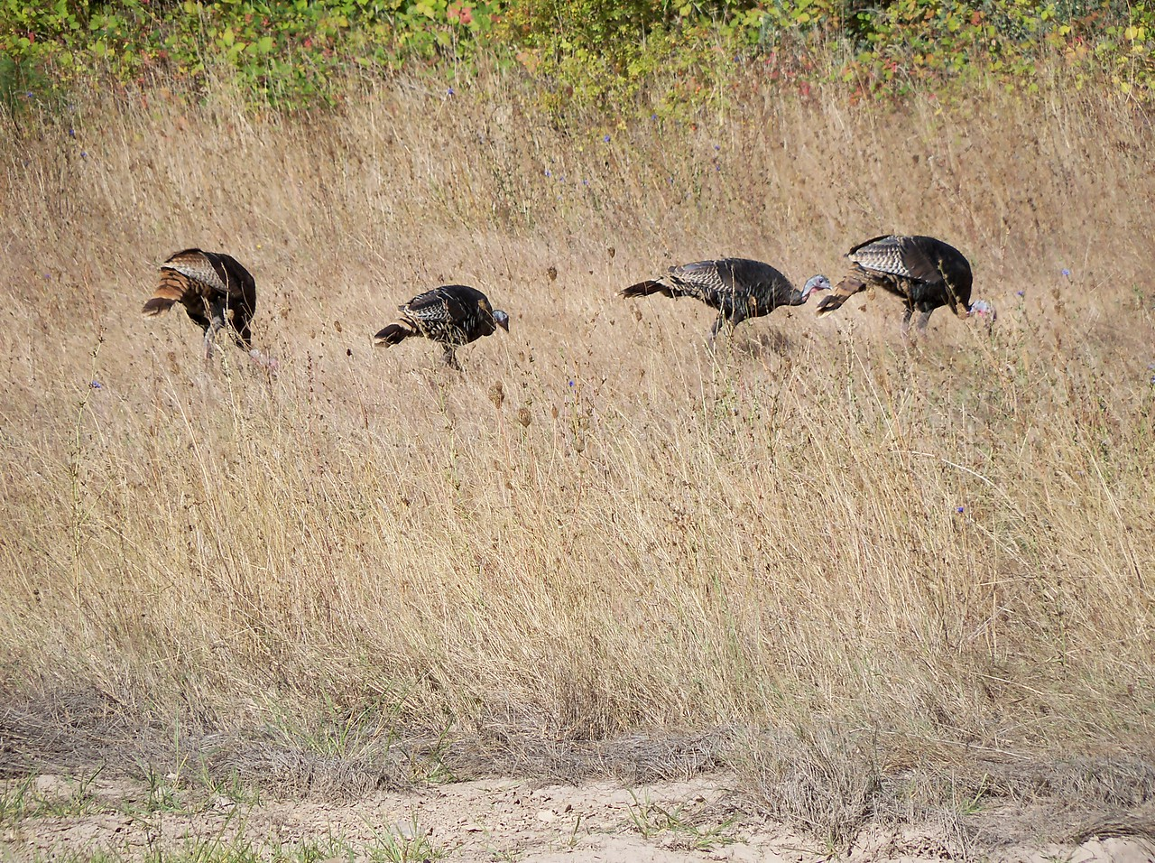 We saw lots of Wild Turkeys.