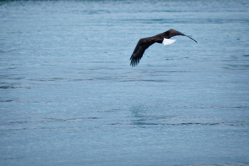 This bald eagle saw us coming and took off, so I made the best of it with these shots.