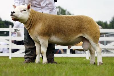 Exhibitor bred Shear Ram