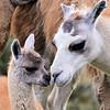 Ecuador - Llamas in Cajas National Park