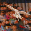 """Tribune-Star/Jim Avelis<br /> Rare bird: """"Sir Lancelot"""", a Gyr-Saker falcon, soars across the Franklin Elementary School gym Friday afternoon. The hybrid raptor was one of several animals in the Birds of Prey program brought to area schools by Duke Energy."""