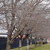 Tribune-Star/Joseph C. Garza<br /> Tree inventory: The city has about 1,070 ash trees in its inventory of about 17,000 trees in city tree rows like the ones pictured here in front of G.E. Aviation on south Third Street.