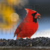Tribune-Star/Jim Avelis<br /> Pop: A male cardinal pops open a sunflower seed as it eats Tuesday afternoon.