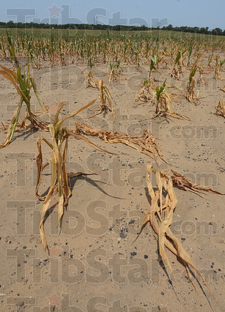 Tribune-Star/Jim Avelis<br /> Gone: Dead corn stalks lay in the fields in northern Vigo County Thursday afternoon. The current drought has scorched thousands of acres of cropland in Indiana.