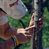 Tribune-Star/Joseph C. Garza<br /> Green is good: Dan DeBard of the City Engineer's Office inspects the color of the inside of a small tree along Ohio Boulevard Thursday. Upon seeing green after making a cut, DeBard knew the tree was not dead but just needed water.